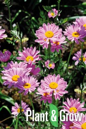 Tanacetum coccineum 'Robinson's Rose' | Wormkruid