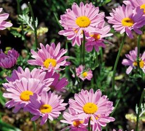 Tanacetum coccineum 'Robinson's Rose' Wormkruid