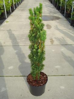 Taxus baccata 'Fastigiata' | Zuiltaxus (12L pot)