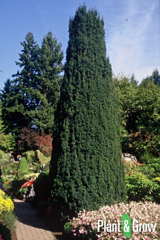 Taxus baccata 'Fastigiata' | Zuiltaxus