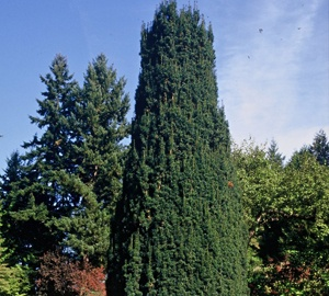 Taxus baccata 'Fastigiata' Zuiltaxus