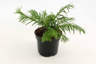 Taxus baccata 'Repandens' | Venijnboom (Ø 9cm pot)