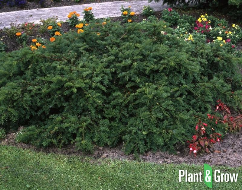 Taxus baccata 'Repandens' | Venijnboom