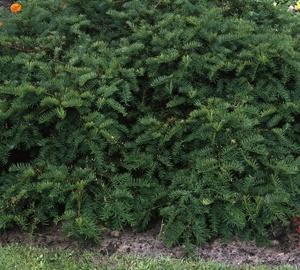 Taxus baccata 'Repandens' Kruipende venijnboom