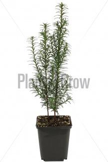 Taxus baccata | Venijnboom (pot 9x9cm) - VOORJAAR