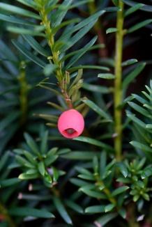 Taxus baccata | Venijnboom bes