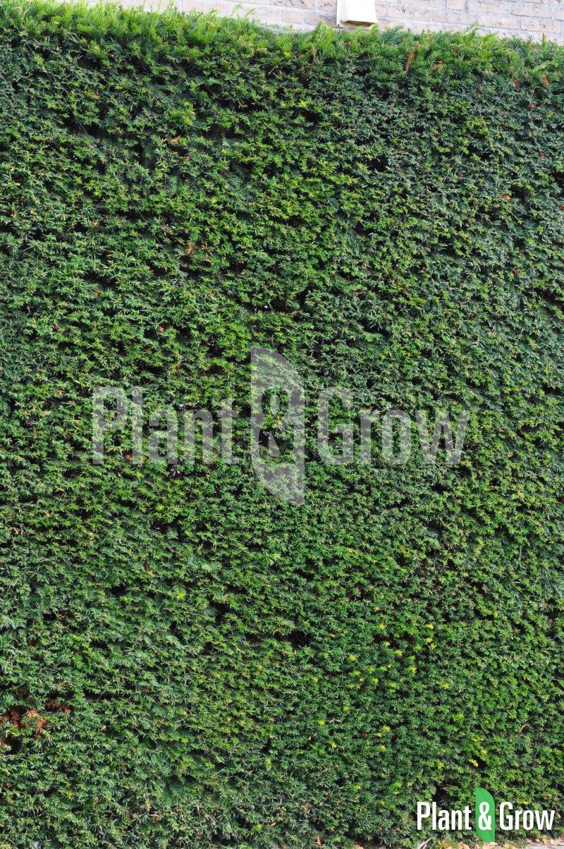 Taxus baccata | Venijnboom haag