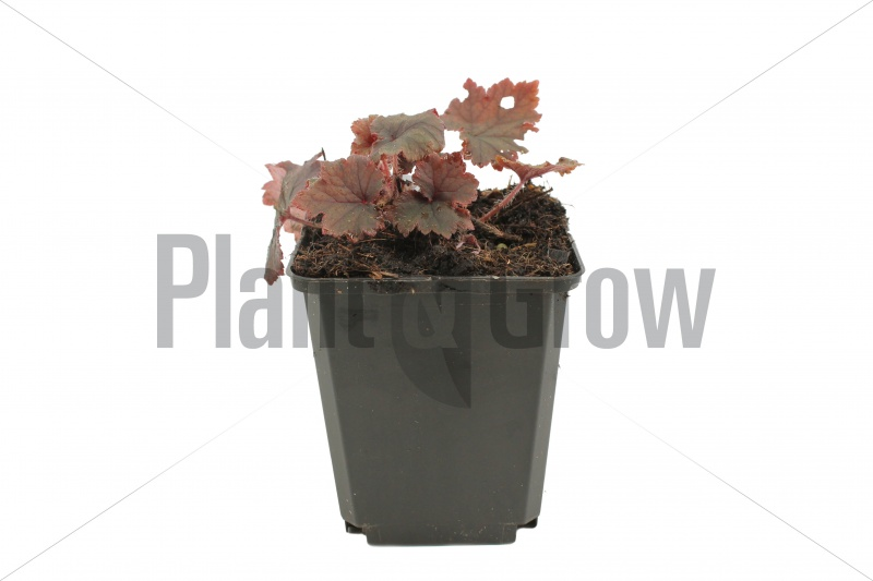 Tellima grandiflora 'Rubra' | Tellima (pot 9x9cm) - VOORJAAR