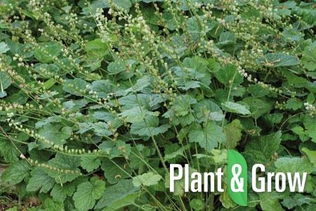 Tellima grandiflora | Tellima