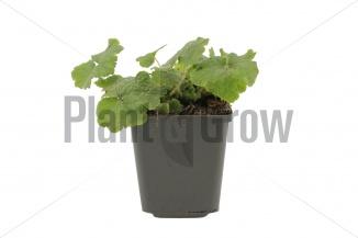 Tellima grandiflora | Tellima (pot 9x9cm) - VOORJAAR