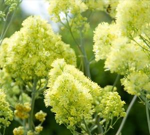 Thalictrum flavum subsp. glaucum Poelruit