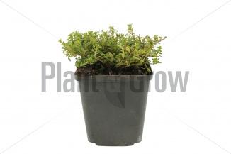 Thymus citriodorus 'Aureus' | Citroentijm (pot 9x9cm) - ZOMER
