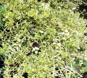 Thymus citriodorus 'Aureus' Citroentijm