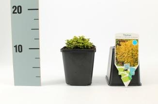 Thymus citriodorus 'Bertram Anderson' | Geelbladige citroentijm (pot 9x9cm)