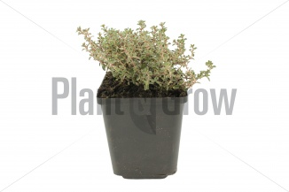 Thymus citriodorus 'Silver Queen' | Citroentijm (pot 9x9cm) - ZOMER