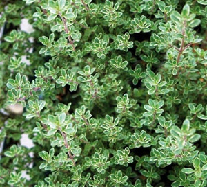 Thymus citriodorus 'Silver Queen' Citroentijm