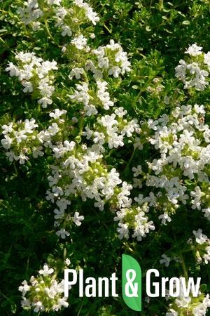 Thymus praecox 'Albiflorus' | Kruiptijm
