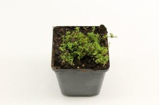 Thymus praecox 'Albiflorus' | Kruiptijm (pot 9x9cm)