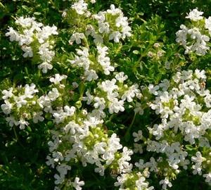 Thymus praecox 'Albiflorus' Kruiptijm