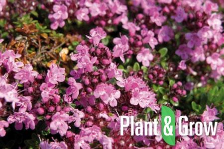 Thymus praecox 'Coccineus' | Kruiptijm