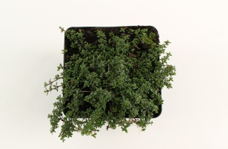 Thymus praecox 'Coccineus' | Kruiptijm (pot 9x9cm)