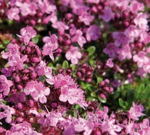 Thymus praecox 'Coccineus' Kruiptijm