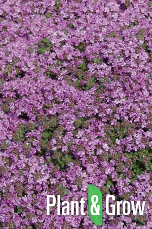 Thymus praecox 'Minor' | Wilde tijm