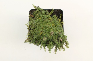 Thymus praecox 'Minor' | Wilde tijm (pot 9x9cm)