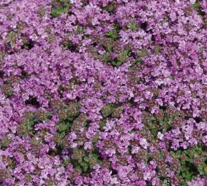 Thymus praecox 'Minor' Wilde tijm