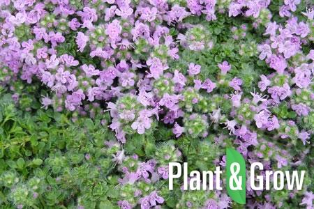 Thymus praecox 'Pseudolanuginosus' | Woltijm