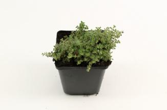 Thymus praecox 'Pseudolanuginosus' | Woltijm (pot 9x9cm)