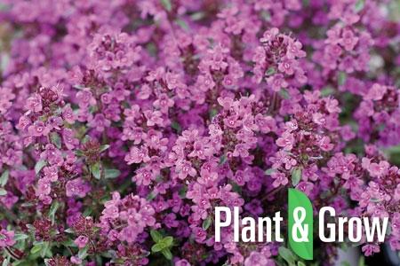Thymus praecox 'Purple Beauty' | Kruiptijm