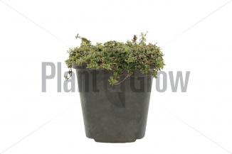 Thymus praecox 'Purple Beauty' | Kruiptijm (pot 9x9cm) - ZOMER