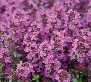 Thymus praecox 'Purple Beauty' Kruiptijm