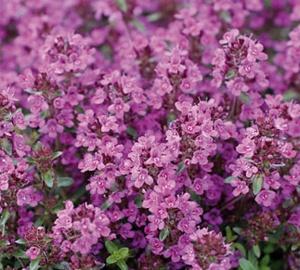Thymus praecox 'Purple Beauty' Kruiptijm