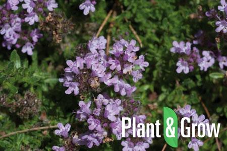 Thymus serpyllum | Gewone tijm