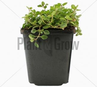 Thymus serpyllum   Gewone tijm (P9 pot)