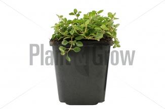 Thymus serpyllum | Gewone tijm (P9 pot)