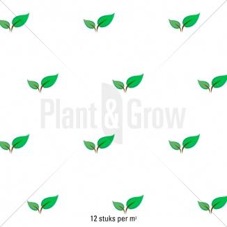 Plantafstand | Thymus serpyllum (pot 9x9 cm)