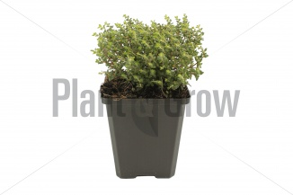 Thymus vulgaris 'Compactus' | Gewone tijm (pot 9x9cm)