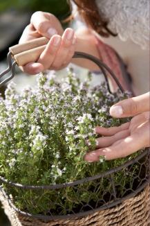 Thymus vulgaris 'Compactus' | Gewone tijm