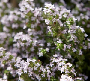 Thymus vulgaris 'Compactus' Gewone tijm