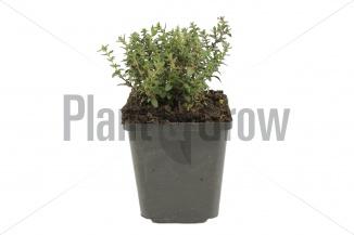 Thymus vulgaris | Gewone tijm (pot 9x9cm) - VOORJAAR