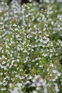 Thymus vulgaris | Gewone tijm