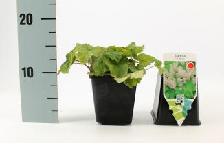 Tiarella cordifolia | Schuimbloem (pot 9x9cm)