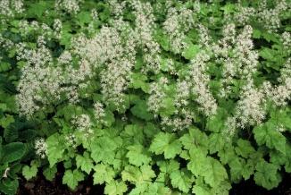 Tiarella cordifolia | Schuimbloem
