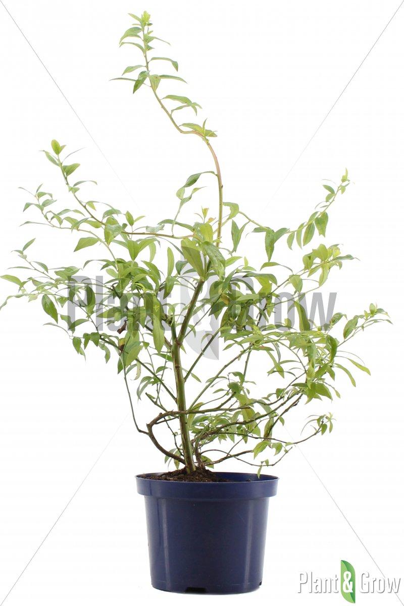 Vaccinium corymbosum 'Pink Lemonade' - Blauwe bes (Ø 17cm pot)