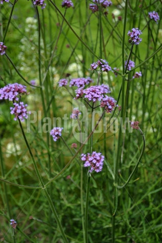 Verbena bonariensis | IJzerhard