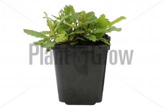 Verbena bonariensis | IJzerhard (pot 9x9cm)