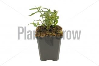 Verbena bonariensis 'Lollipop' | IJzerhard (pot 9x9cm)